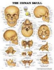 The The Human Skull Anatomical Chart PDF