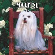 Maltese 2008 Square Wall Calendar by BrownTrout Publishers