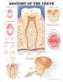Anatomy of the Teeth Anatomical Chart PDF