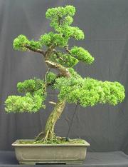 Step-By-Step Create Your Own Bonsai (Step-by-step) PDF