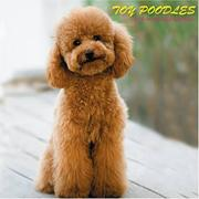 Cover of: Toy Poodles 2008 Wall Calendars | Magnum Publications