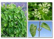 Cover of: Integrated management of the alien invasive weed Mikania Micrantha in the western ghats | K. V. Sankaran