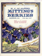 H.J. and Alfred Mittings new and standard berries